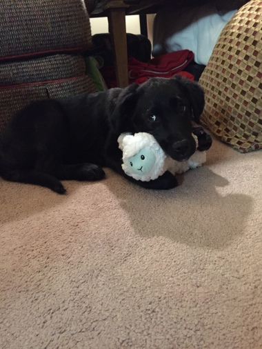 Bailey With Lamb