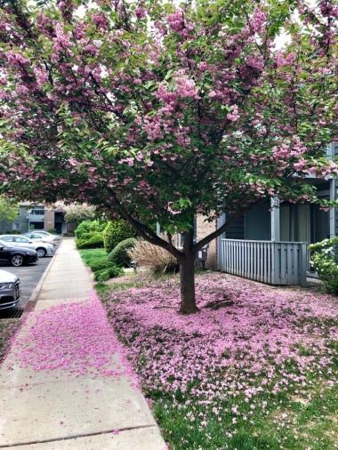 Pink Tree At Tamarron